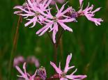 Ragged robin - Paul Lane