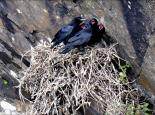 These young ravens are almost ready to leave the nest - Steve Waterhouse