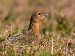Red grouse are well camouflaged - Tom Marshall