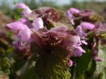 Red dead-nettle - Philip Precey