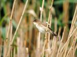 Reed warbler in a reedbed - Amy Lewis