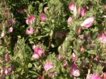 Common Restharrow - Philip Precey