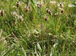 Ribwort plantain - Philip Precey