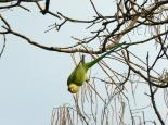Ring-necked parakeet - Neil Phillips