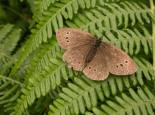 Ringlet butterfly - Philip Precey