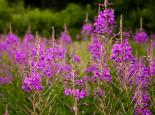 Rosebay willowherb - Paul Lane