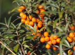 The bright orange fruits of sea-buckthorn  - Amy Lewis