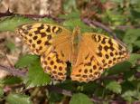 Silver-washed fritillary butterfly - Philip Precey