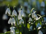 Snowdrops - Amy Lewis