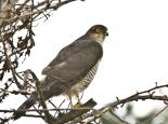 Sparrowhawk Credit Happy Hogg