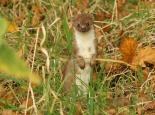 Stoat - Rachel Scopes
