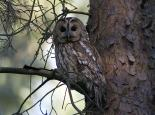 Tawny owls roost in trees during the day - Damian Waters (drumimages.co.uk)