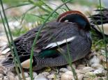 A male teal sleeping - Amy Lewis