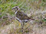 Golden plover - Gillian Day