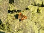Wall brown butterfly basking on a dry-stone wall - Richard Burkmar