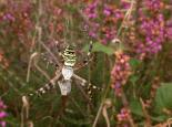Wasp spider in web - Philip Precey