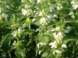 White dead-nettle - Neil Wyatt