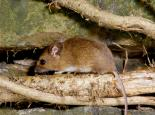 Wood mouse - Paul Adams
