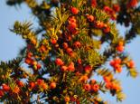Fruiting yew - Amy Lewis