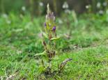 Autumn gentian - northeastwildlife.co.uk
