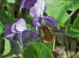 Bee-fly - northeastwildlife.co.uk
