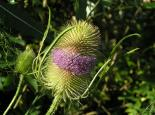 Teasel - Richard Burkmar