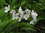 Cuckoo flower - Richard Burkmar