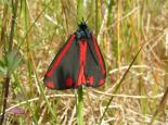Cinnabar moth - Richard Burkmar