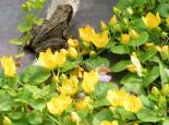 Creeping Jenny and common frog - Richard Burkmar