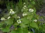 Garlic mustard - Richard Burkmar