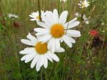 Oxeye daisy - Richard Burkmar
