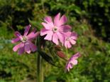 Red campion - Richard Burkmar
