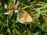 Small heath butterfly - Richard Burkmar
