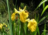 Yellow iris - Richard Burkmar