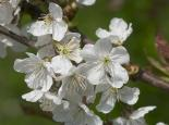 Wild cherry flowers - northeastwildlife.co.uk