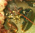 Common lobster - Polly Whyte - earthinfocus
