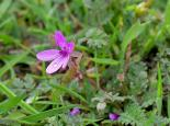Common stork's-bill - northeastwildlife.co.uk