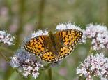 Dark green fritillary butterfly - Keith Warmington