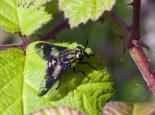 Twin-lobed deer-fly - Les Binns