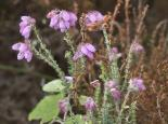 Cross-leaved heath - northeastwildlife.co.uk