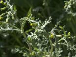 Groundsel - northeastwildlife.co.uk