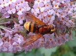 Hornet mimic fly - Dave Risborough
