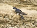 House martin  - northeastwildlife.co.uk
