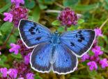 Large blue butterfly - Keith Warmington