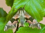 Lime hawkmoth - Keith Warmington