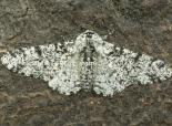 Peppered moth - northeastwildlife.co.uk