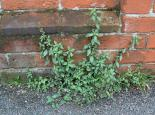 Pellitory-of-the-wall - Dave Riseborough