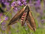 Privet hawkmoth - Rachel Scopes