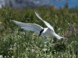 Sandwich tern  - northeastwildlife.co.uk
