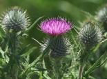 Spear thistle - northeastwildlife.co.uk